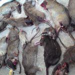 Xác chuột ngoài đường và hiểm họa dịch bệnh