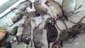 Công ty diệt chuột siêu tốc Vĩnh Phúc