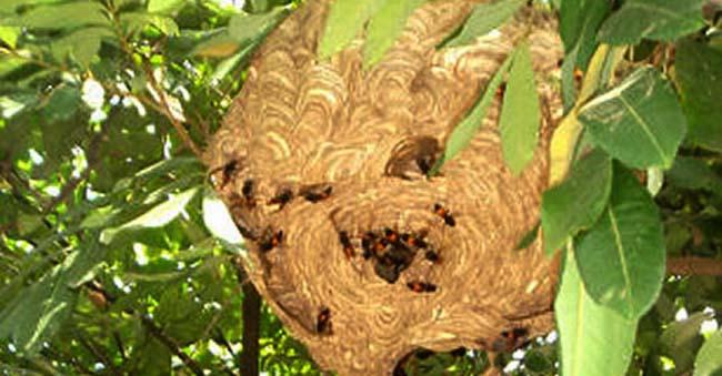 Công ty bắt ong - diệt ong chuyên nghiệp