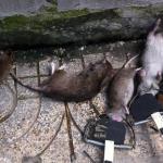 Công ty diệt chuột cho nhà máy tại Bình Dương