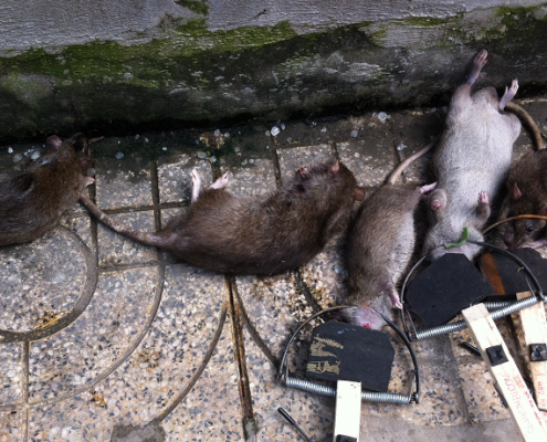 Dịch vụ diệt chuột tại Bà Rịa - Vũng Tàu
