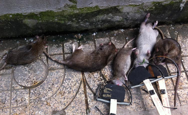 Công ty diệt chuột Hà Nam
