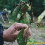 Phun thuốc kiểm soát các loại sâu róm hại cây