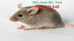 Công ty diệt chuột Bắc Ninh