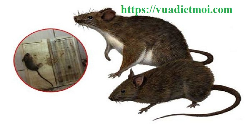 Đơn vị diệt chuột giá rẻ Quảng Nam