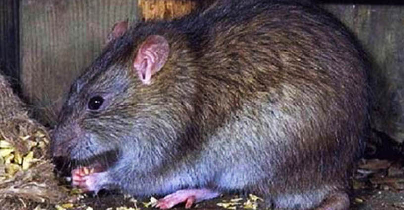 diệt chuột giá rẻ Bắc Giang