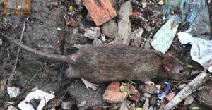 Dịch vụ diệt chuột Hà Nam