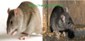 Công ty diệt chuột tận gốc Phú Yên