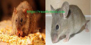 Dịch vụ diệt chuột Quảng Trị
