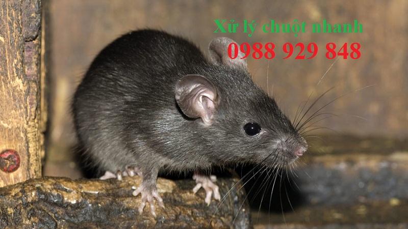 Dịch vụ diệt chuột hiệu quả Hoà Bình