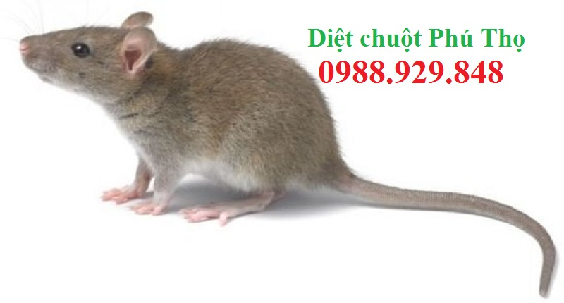 Dịch vụ diệt chuột tốt nhất Phú Thọ