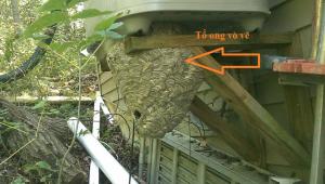 dịch vụ diệt ong độc tại Hà Nội